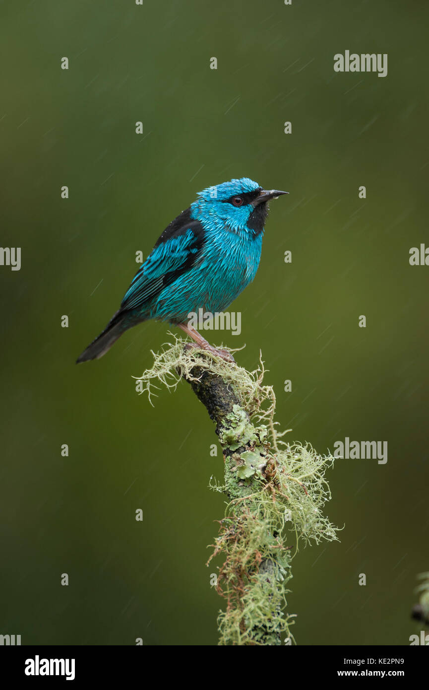Blue Dacnis (Dacnis cayana) from the Atlantic Rainforest of SE Brazil - Stock Image