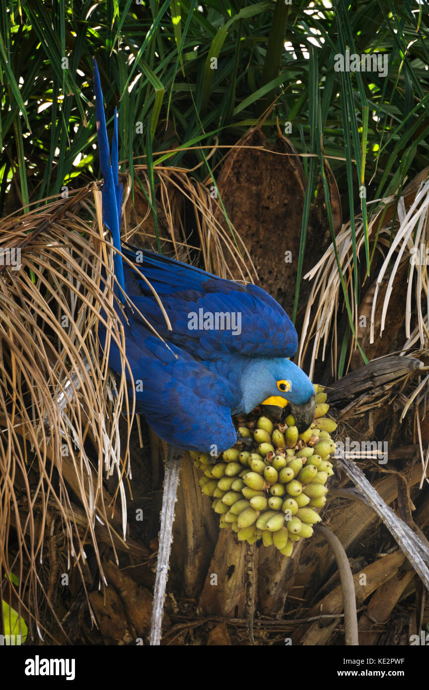 A Hyacinth Macaw feeding on the nuts of the Acuri Palm in the Pantanal, Brazil - Stock Image