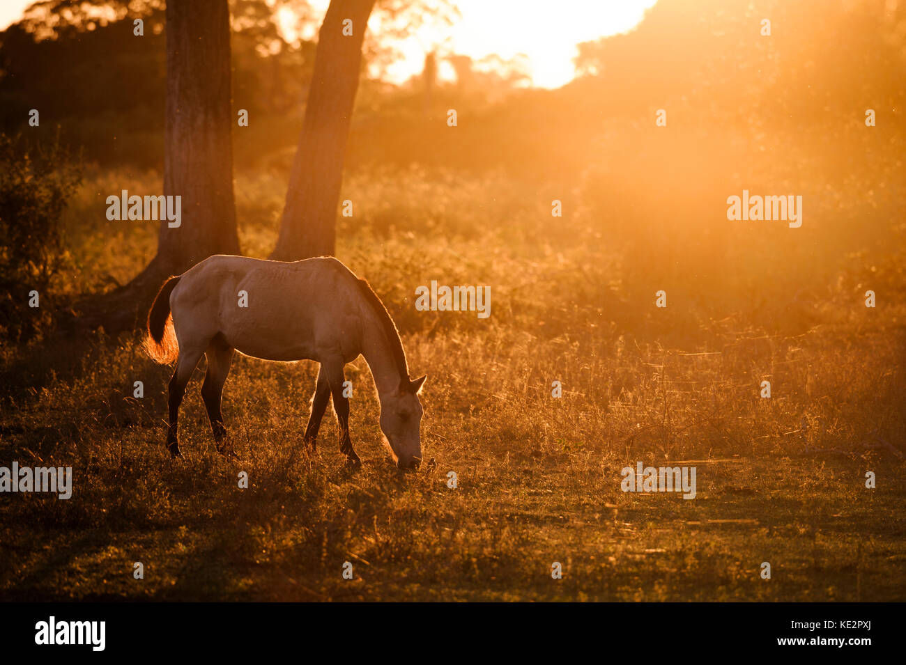 A horse from the Pantanal, Brazil - Stock Image