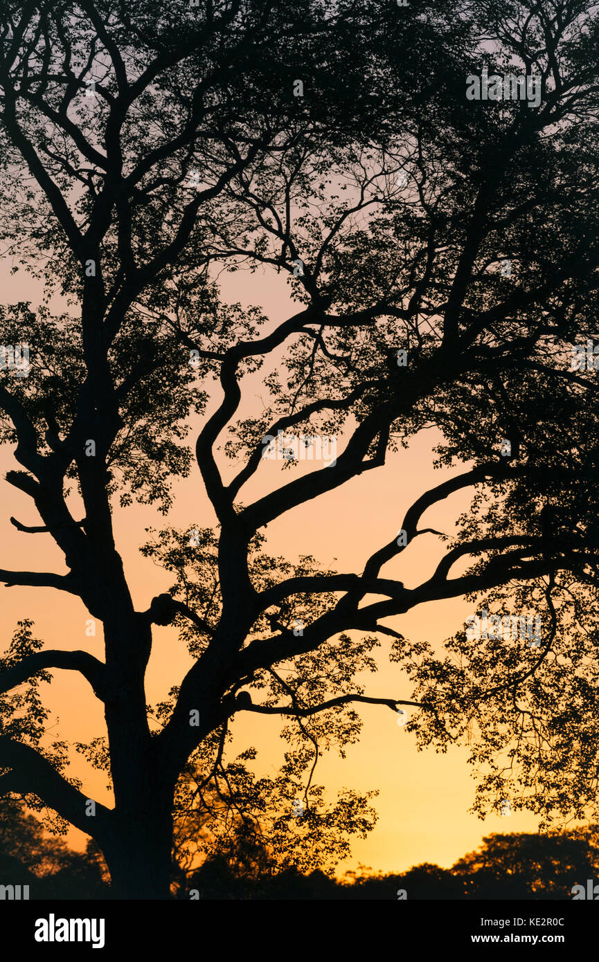 Tree branches against the sunset in the Pantanal, Brazil - Stock Image