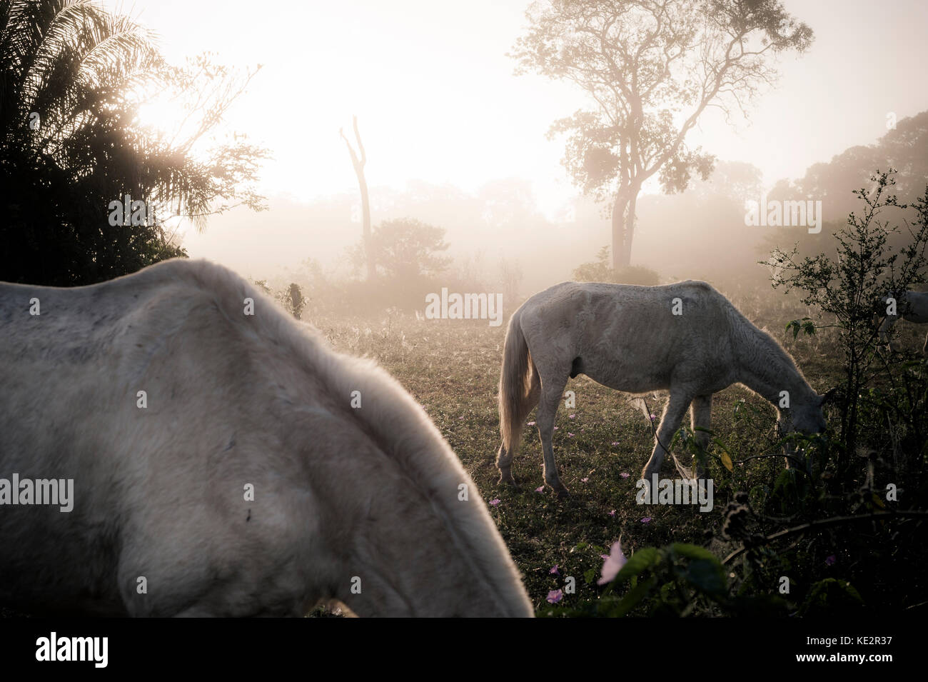 Two horses in the Pantanal during a misty morning - Stock Image
