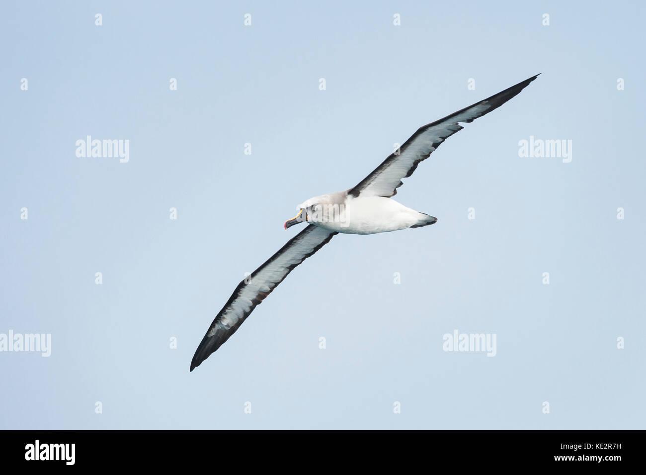 An Atlantic Yellow-nosed Albatross off SE Brazil - Stock Image