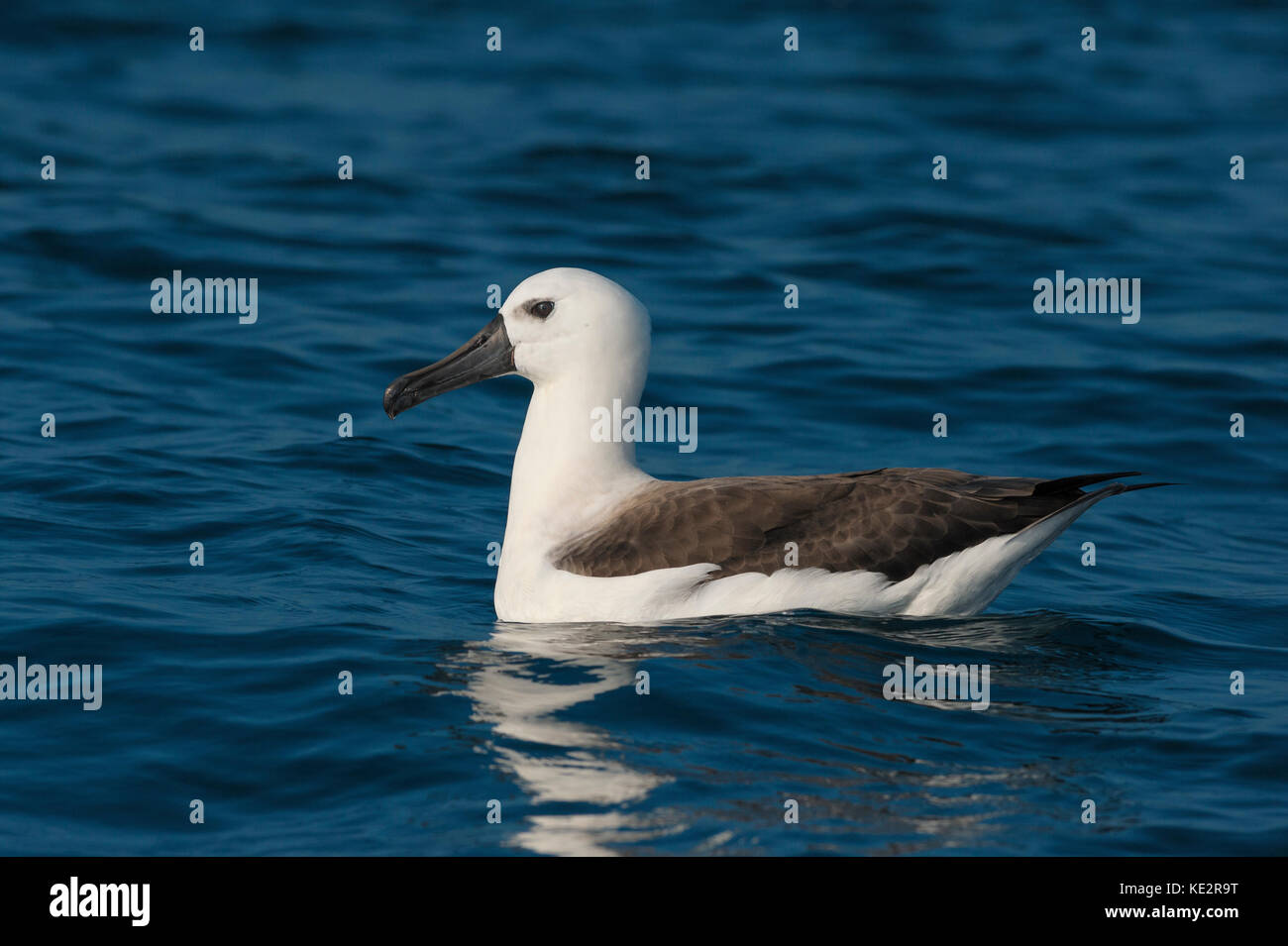 An immature Atlantic Yellow-nosed Albatross off the waters of SE Brazil - Stock Image