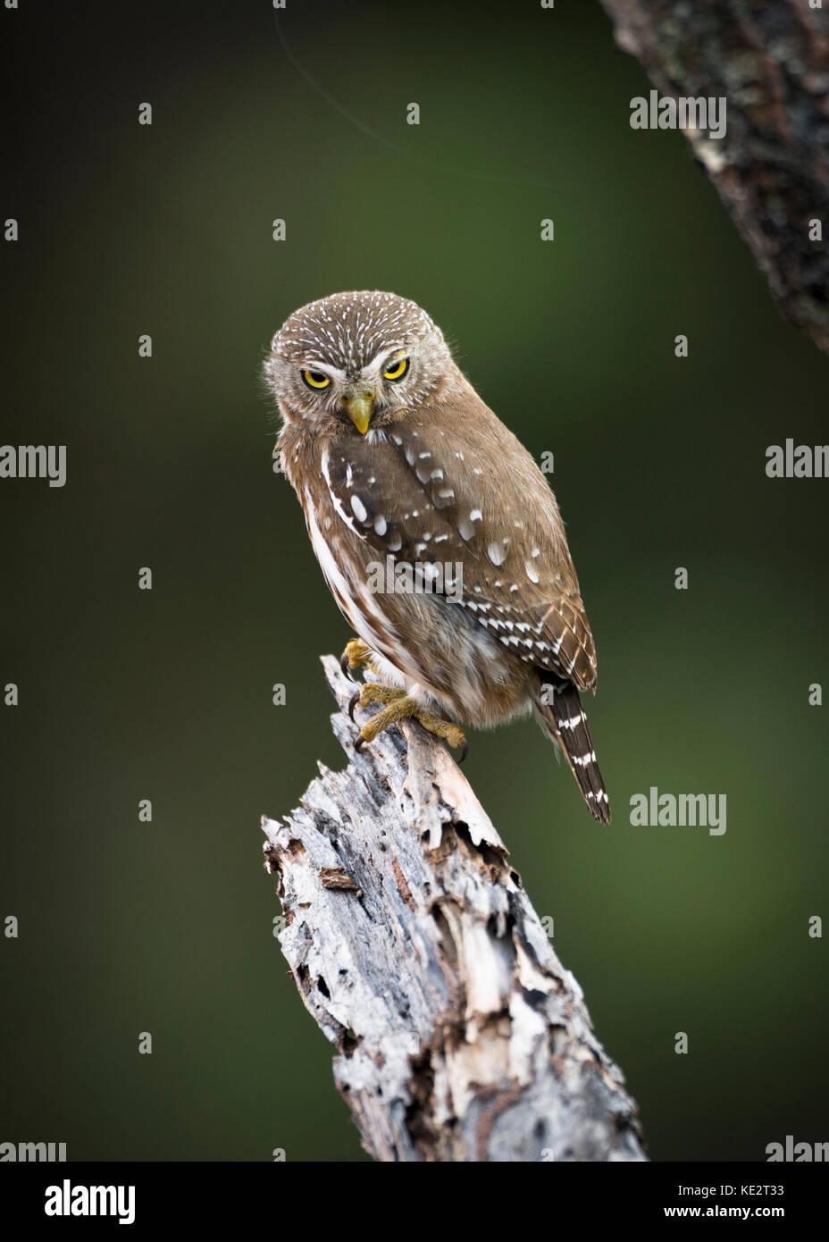A Ferruginous Pymy-Owl (Glaucidium brasilianum) from central Brazil - Stock Image