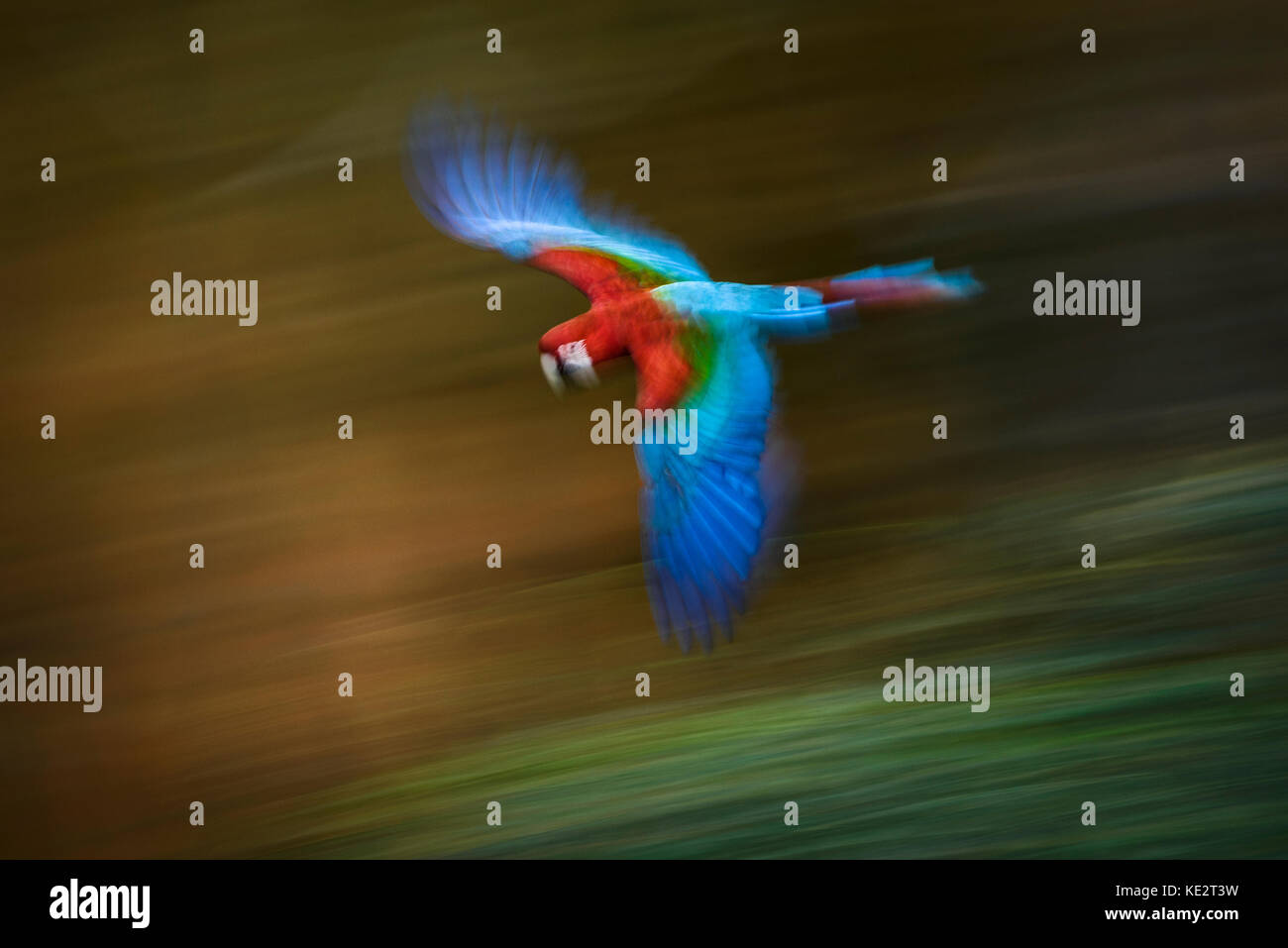 a-red-and-green-macaw-in-flight-KE2T3W.j