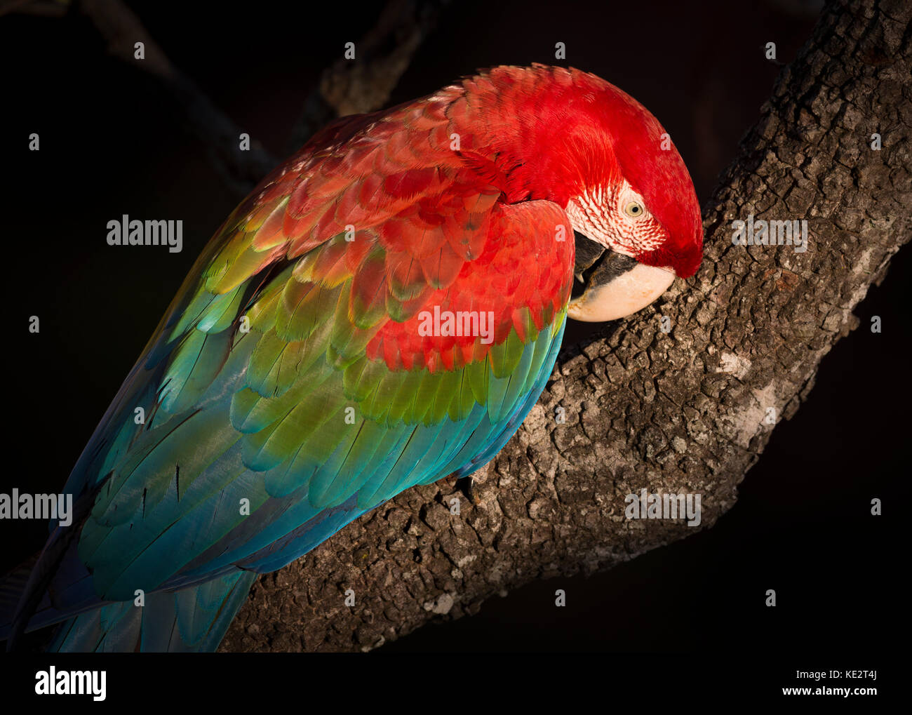 Red-and-green Macaw portrait in Brazil - Stock Image