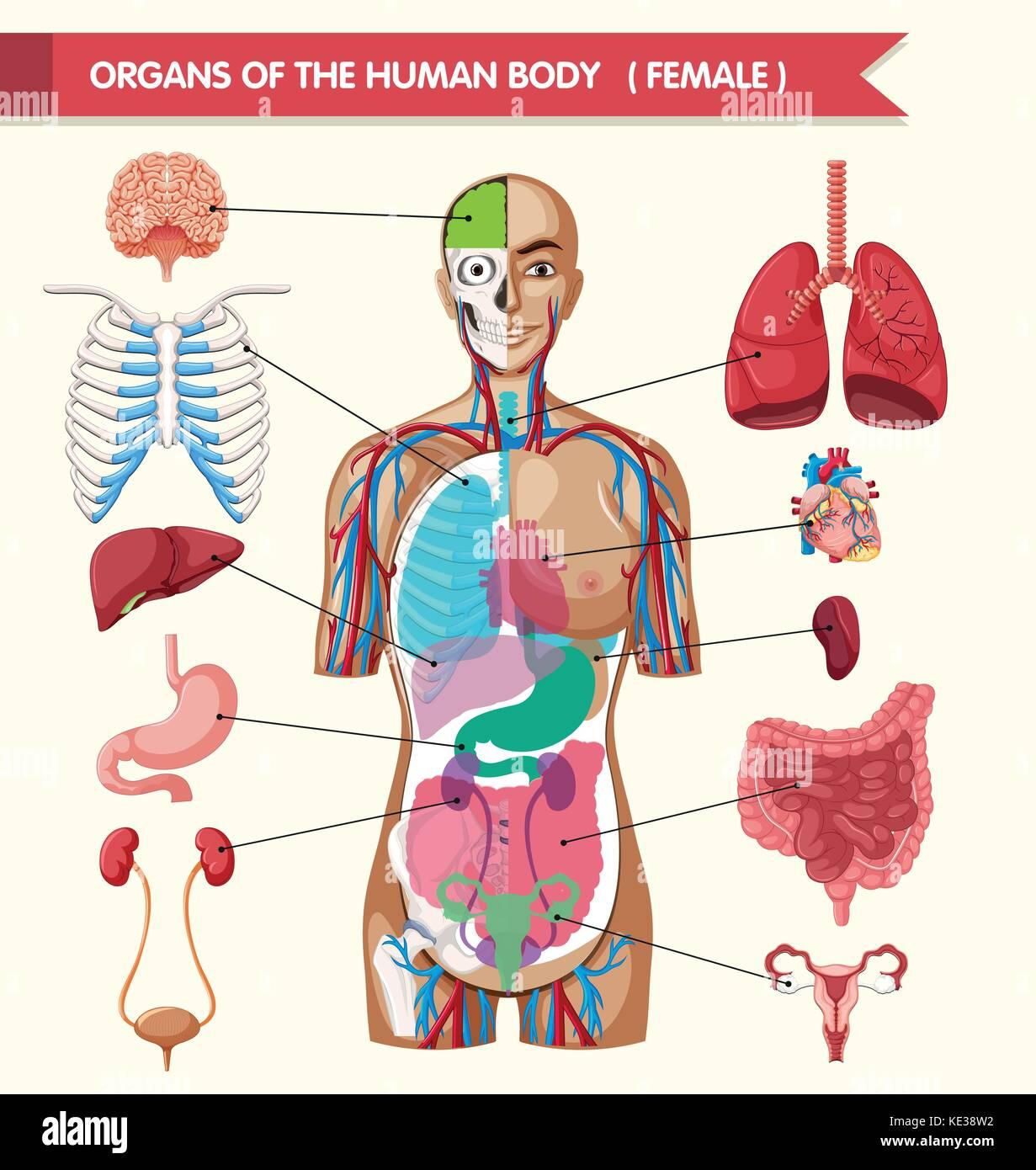 Anatomy body diagram