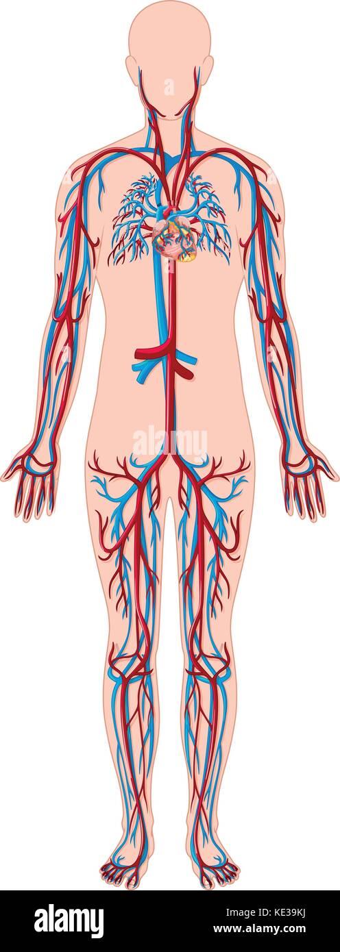 Human anatomy blood