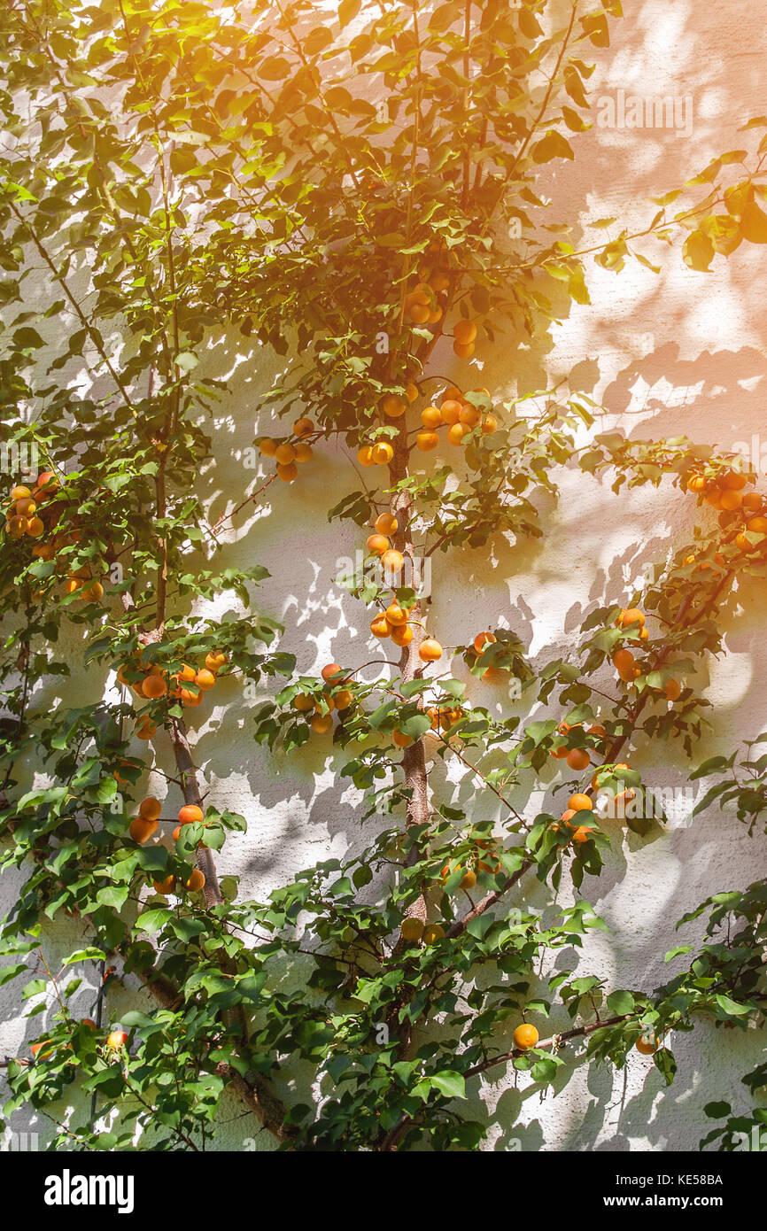 Apricot Tree Wall Stock Photos Amp Apricot Tree Wall Stock