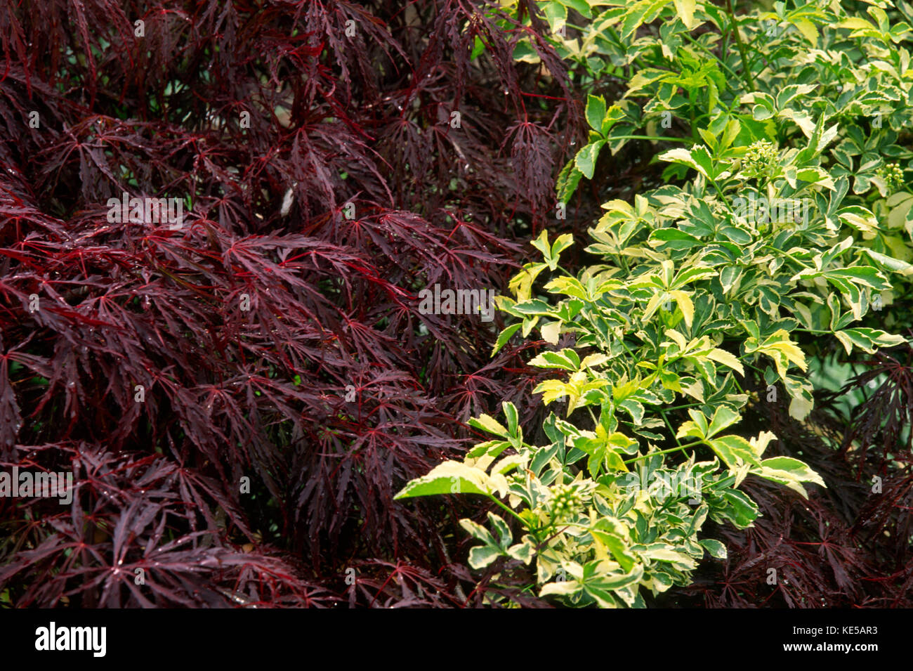 Contrasting foliage of Japanese maple and variegated aralia - Stock Image