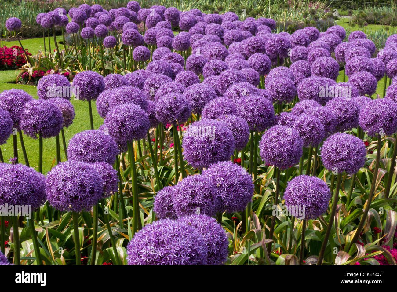 Purple Alliums - Stock Image