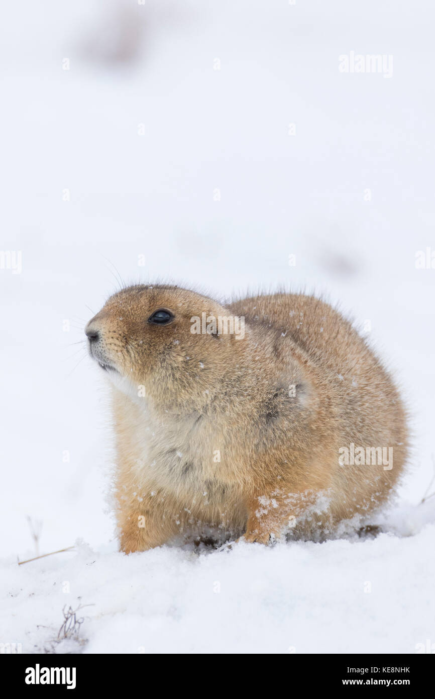 black tailed prairie dog colony stock photos amp black