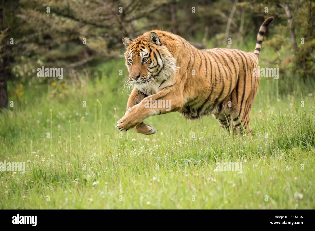 Tiger facts photos and videos siberian tiger bengal