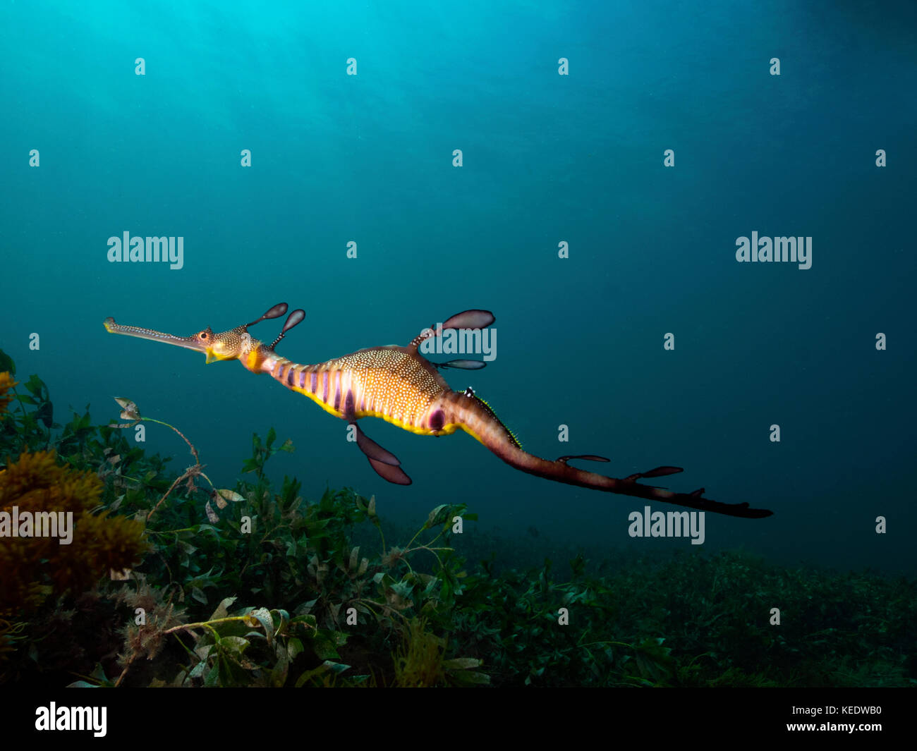 weedy sea dragon essay Young readers will love digging into this passage's cool weedy sea dragon facts, and they'll get a nice reading comprehension workout in the process.