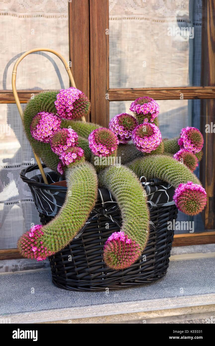 cactus - Stock Image