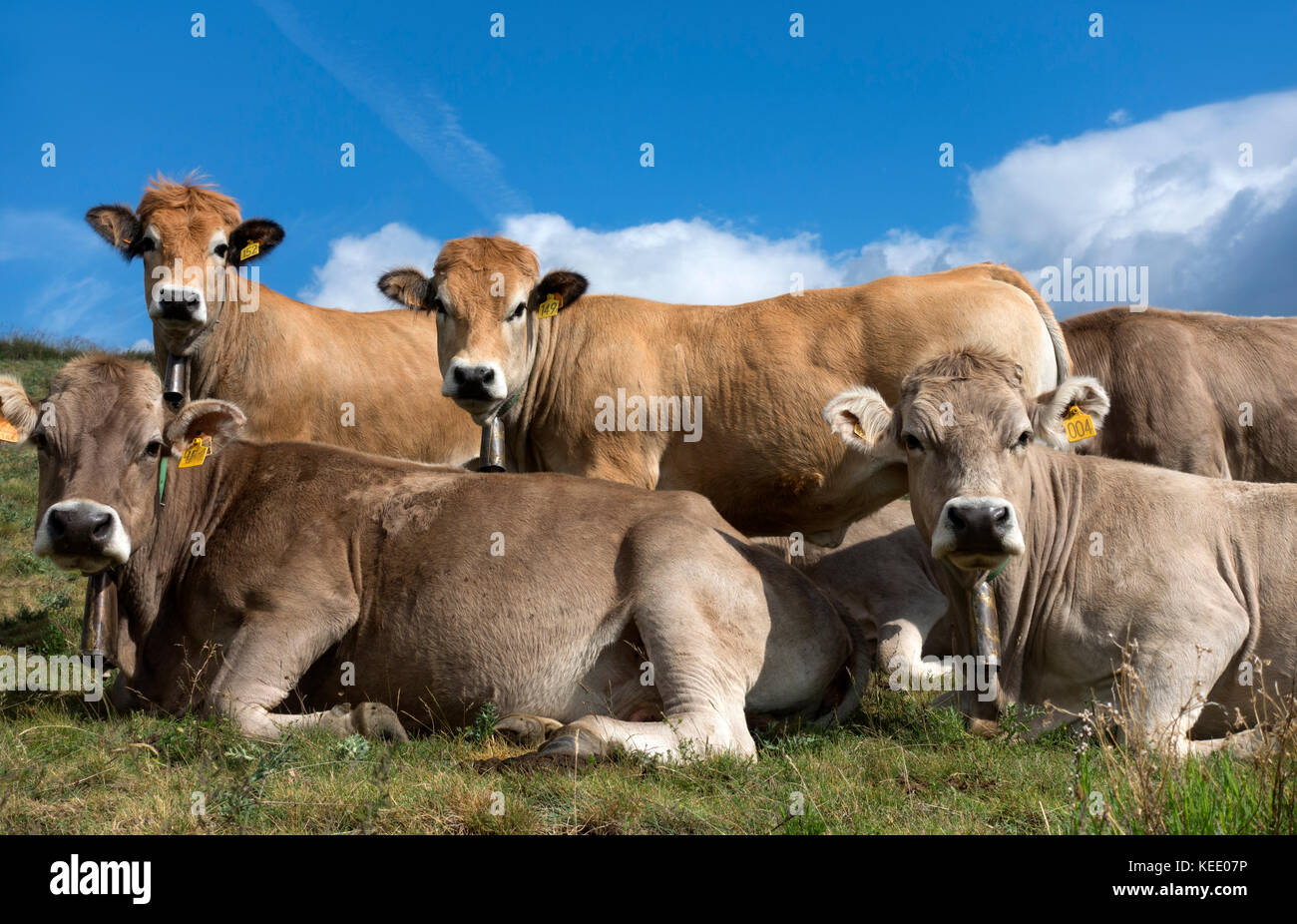 Cows watching.Pyrenees.Catalunya.Spain - Stock Image