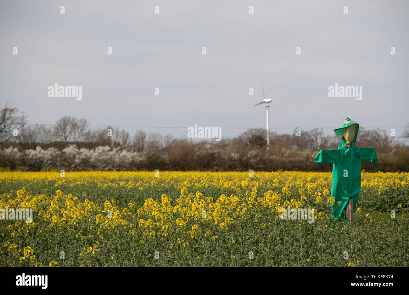 A scarecrow in a green waterproof and a filed of oil seed rape - Stock Image