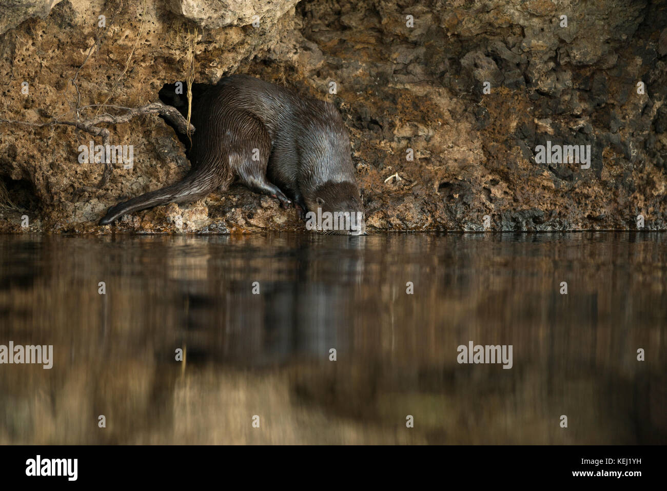A Neotropical River Otter entering the water in South Pantanal, Brazil - Stock Image