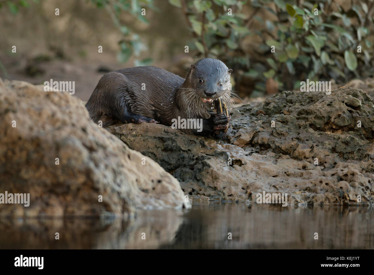 Neotropical River Otter eating a catfish in South Pantanal, Brazil - Stock Image