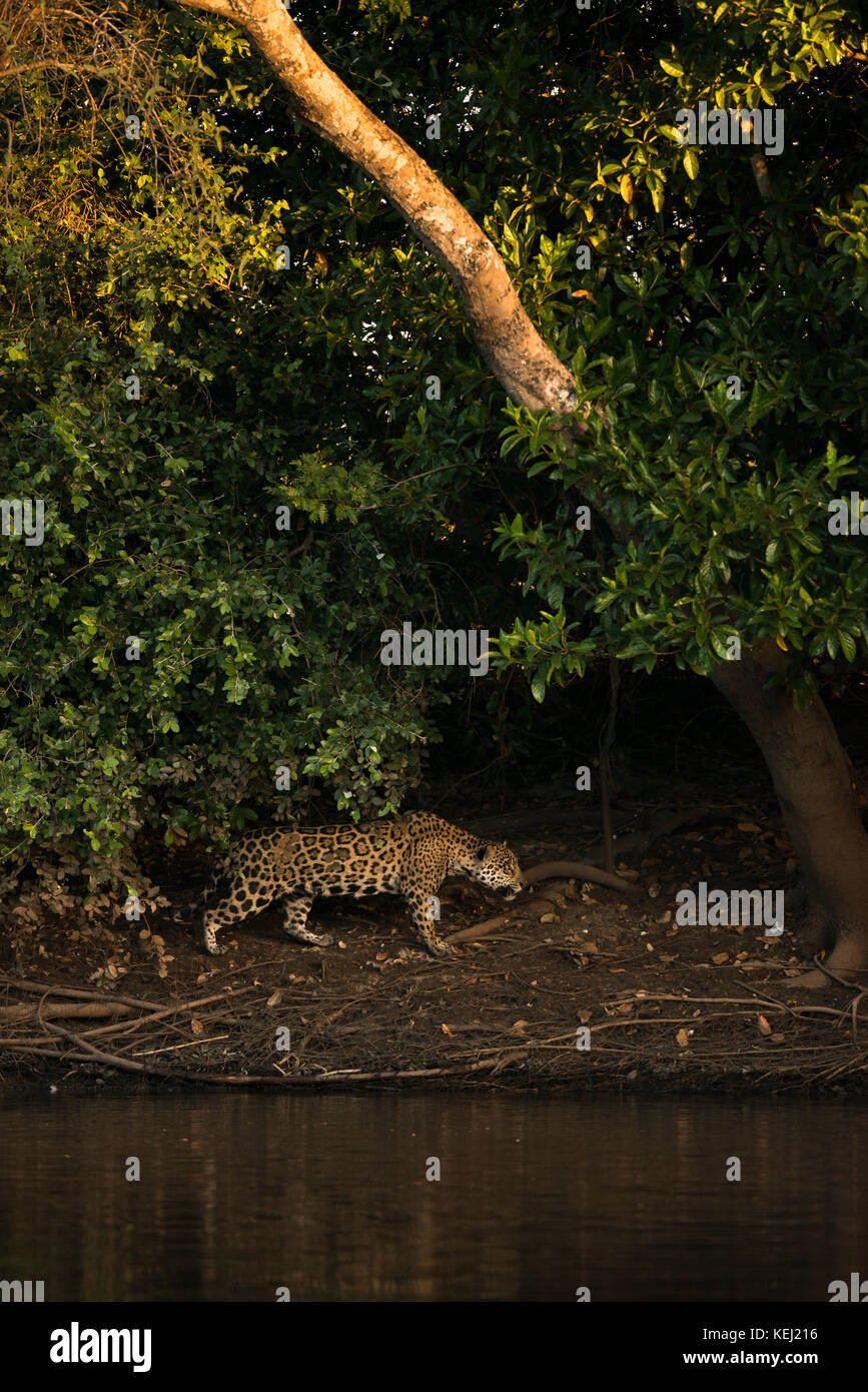 A Jaguar on the shoreline of a river in North Pantanal, Brazil - Stock Image