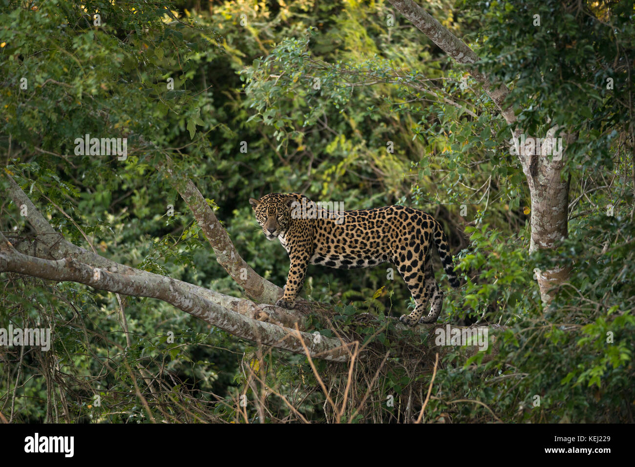 A Jaguar on a tree in North Pantanal, Brazil - Stock Image