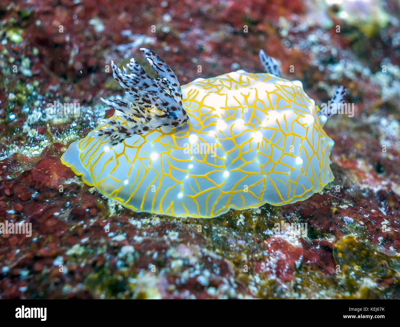 the phylum mollusca Phylum mollusca, known as mollusks, are a group of invertebrate animals that  include slugs, snails, mussels, octopus, bivalves, gastropods, etc.