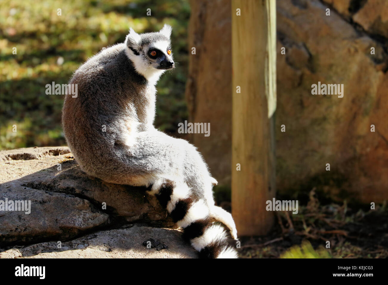 Ring-tailed lemur (lemur catta), South Africa - Stock Image