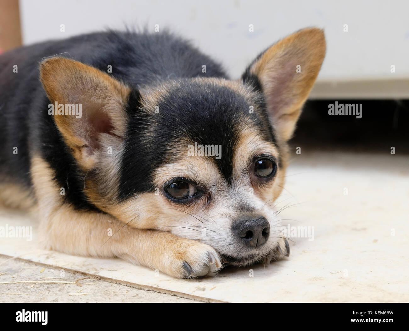 Elderly female Chihuahua dog lying down facing camera - Stock Image