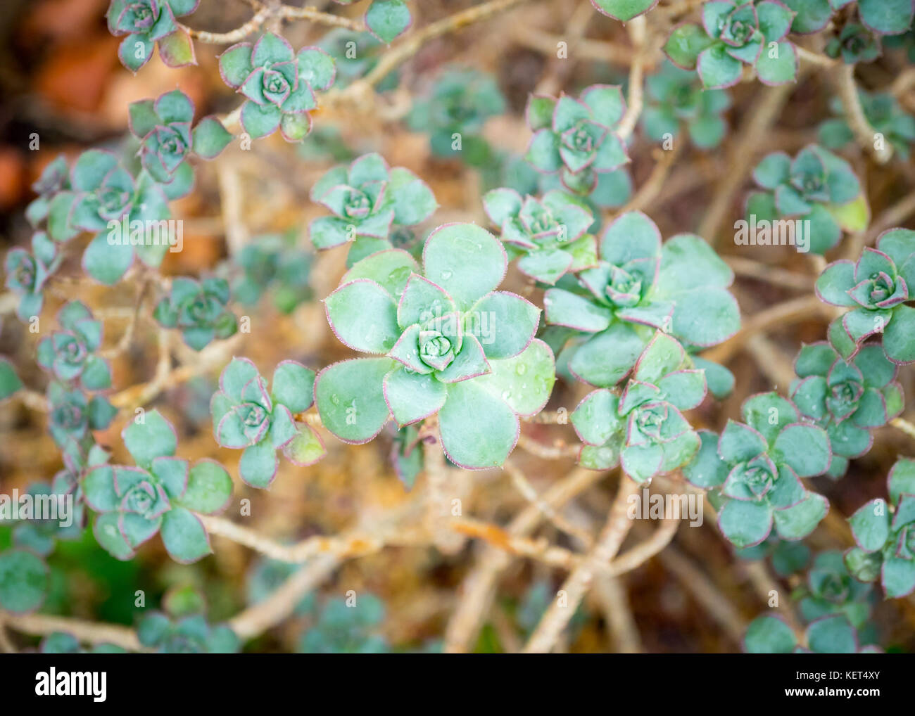 Aeonium haworthii 'Kiwi' (Aeonium Kiwi Pinwheel) succulent plant at the Muttart Conservatory in Edmonton, - Stock Image
