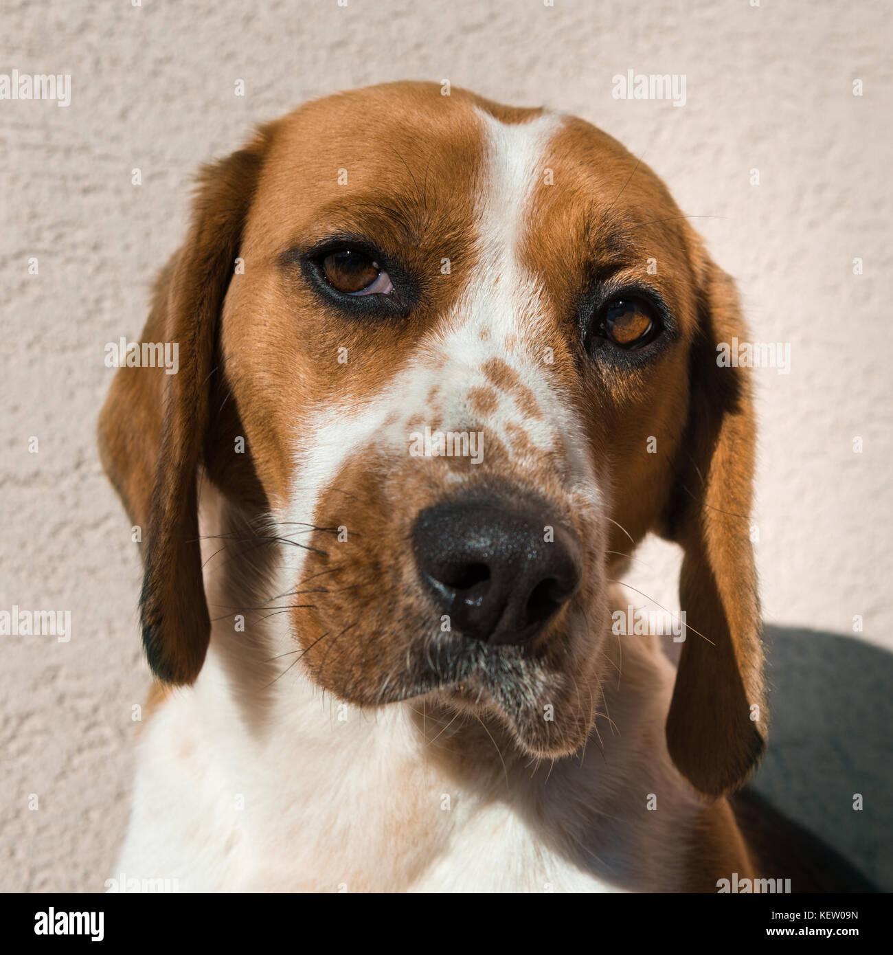 Beagle Rescue Dog Scotland
