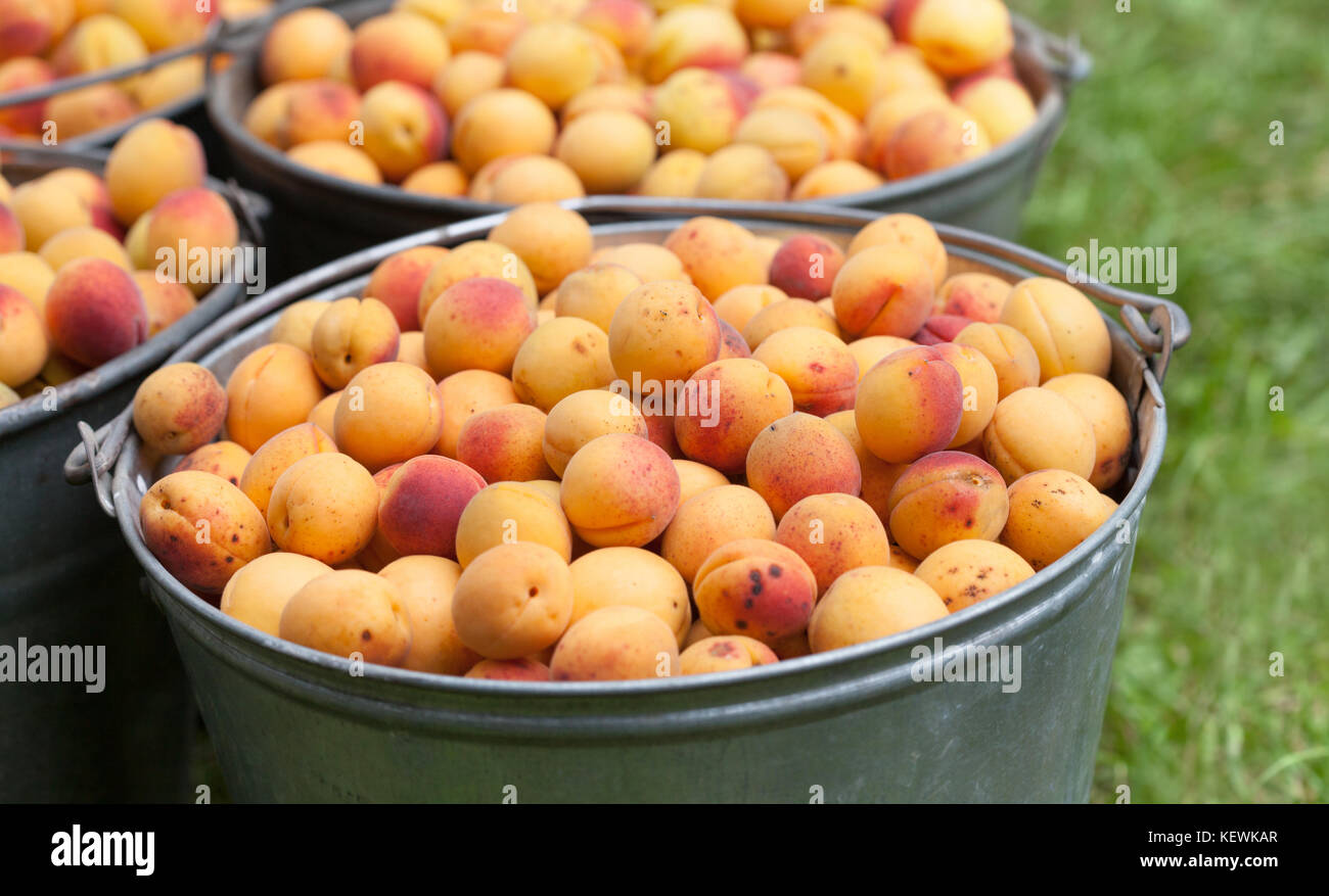 Apricots in a bucket. Ripe orange red textured fruits close-up. Healthy organic food concept. Macro view farmers - Stock Image