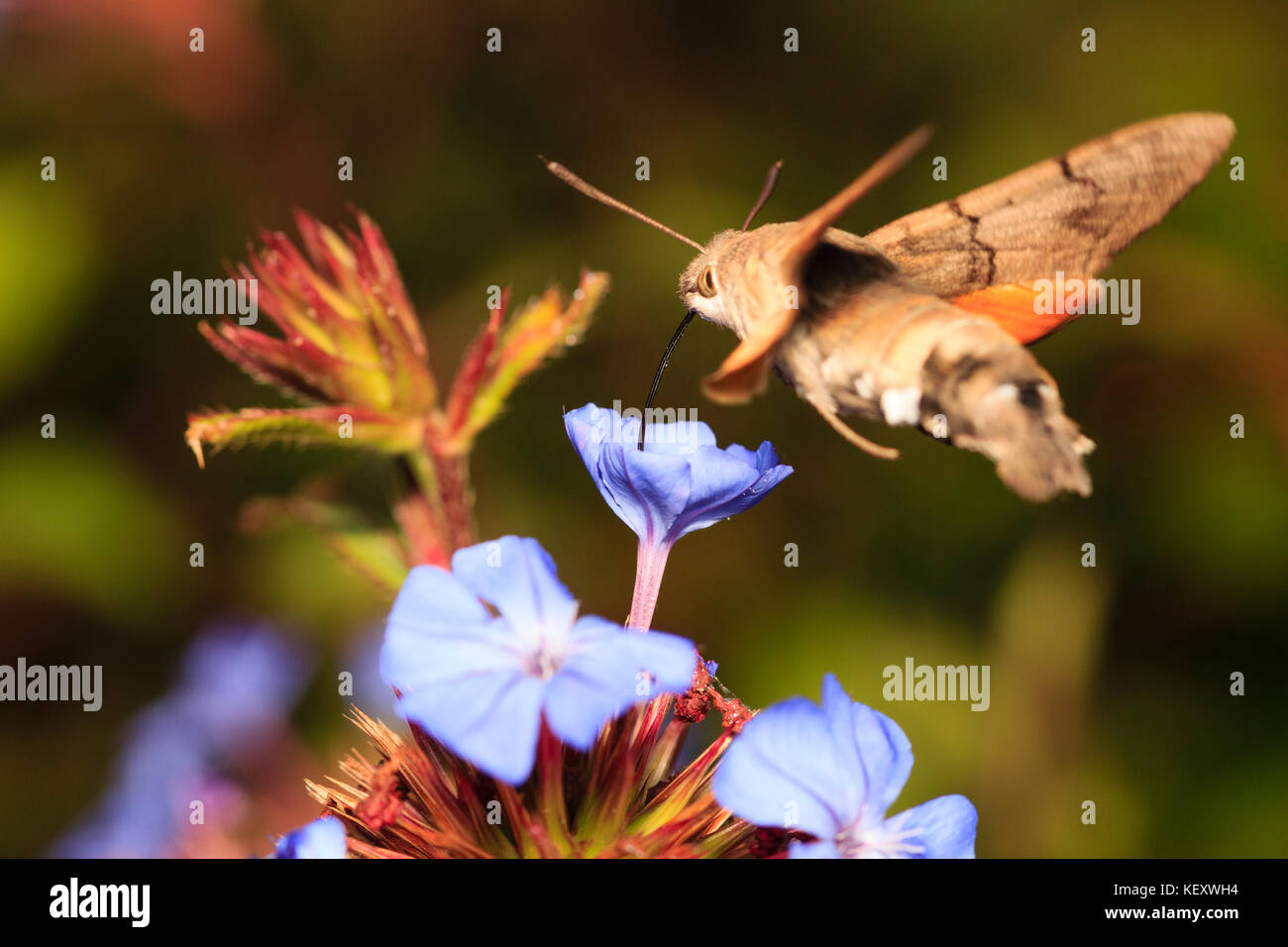 humming-bird-hawk-moth-macroglossum-stellatarum-in-flight-feeding-KEXWH4.jpg