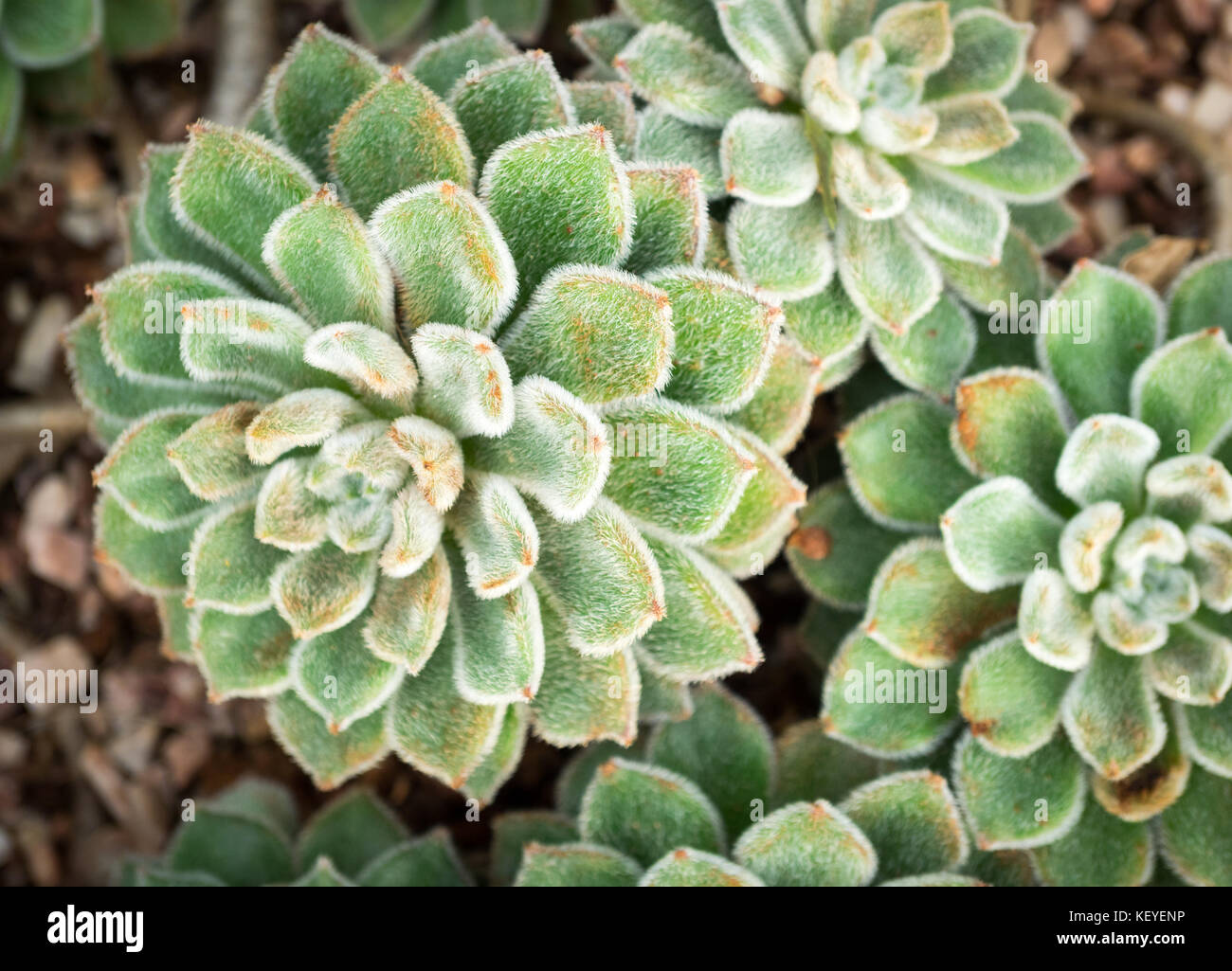 Echeveria 'Doris Taylor' (also known as Woolly Rose) succulent plants at the Muttart Conservatory in Edmonton, - Stock Image