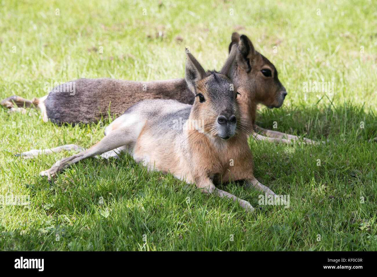 Two Patagonian mara sitting in the shade on a sunny day - Stock Image
