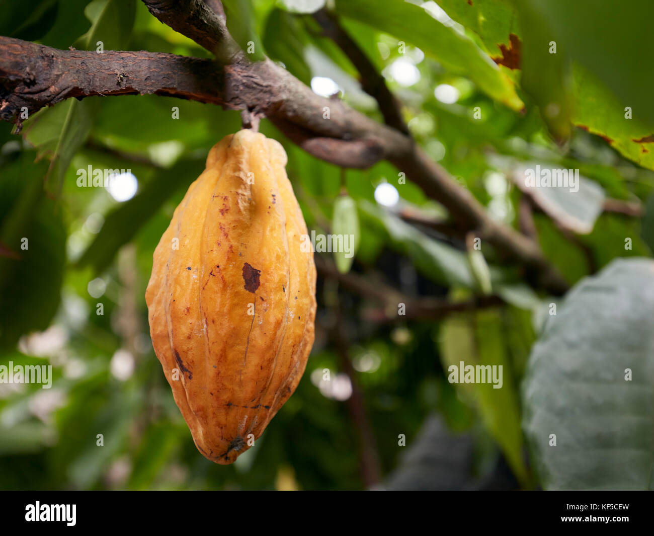 theobroma cacao the tree chocolate is made from