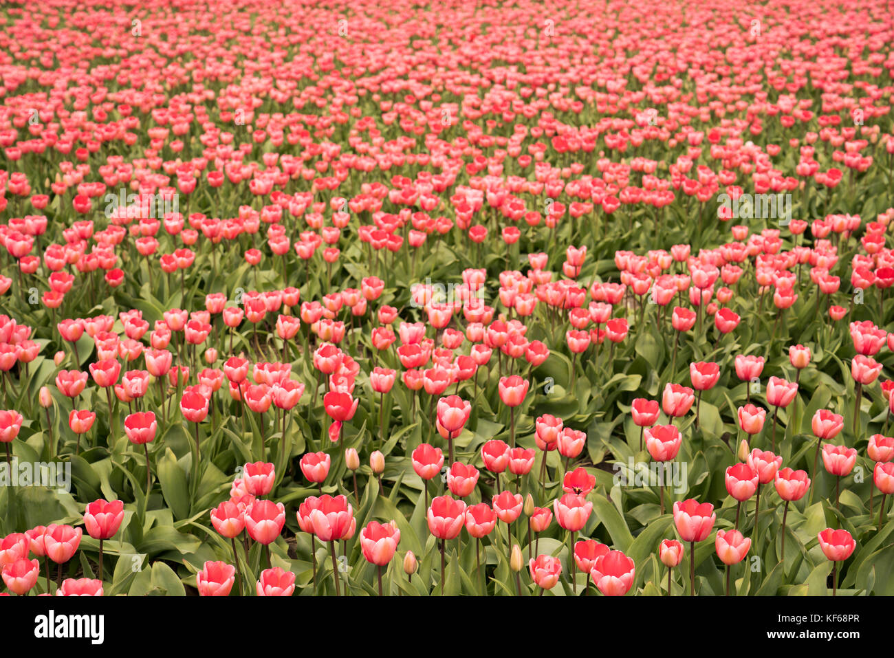 Flower Fields nearby Lisse & Amsterdam, The Netherlands - Stock Image
