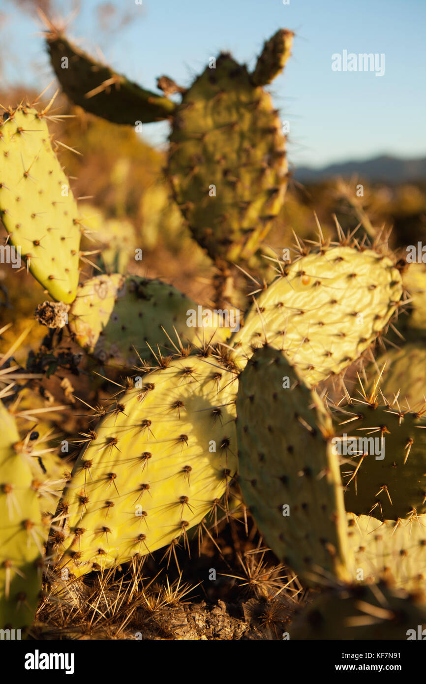 USA, California, Malibu, cactus plant in the sunlight at Big Dume - Stock Image