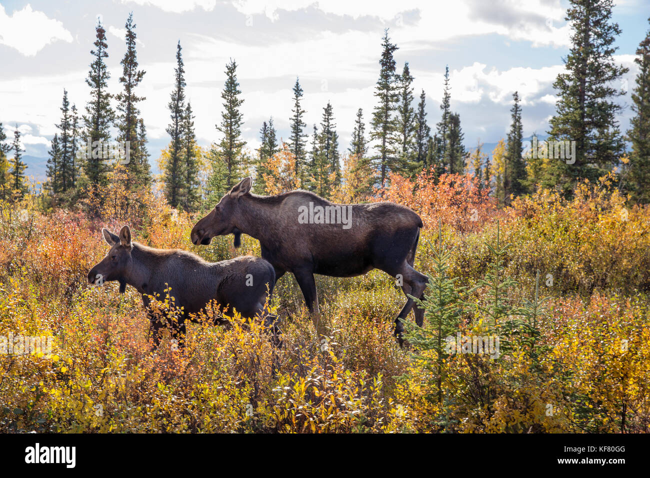 USA, Alaska, Cantwell, Horse Pack trip into the Jack River Valley at the base of the Alaska Range with Gunter Wamser - Stock Image