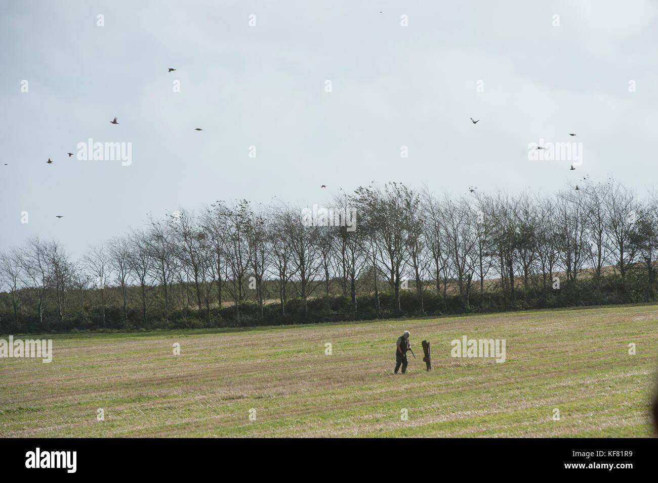 pheasant shooting - Stock Image