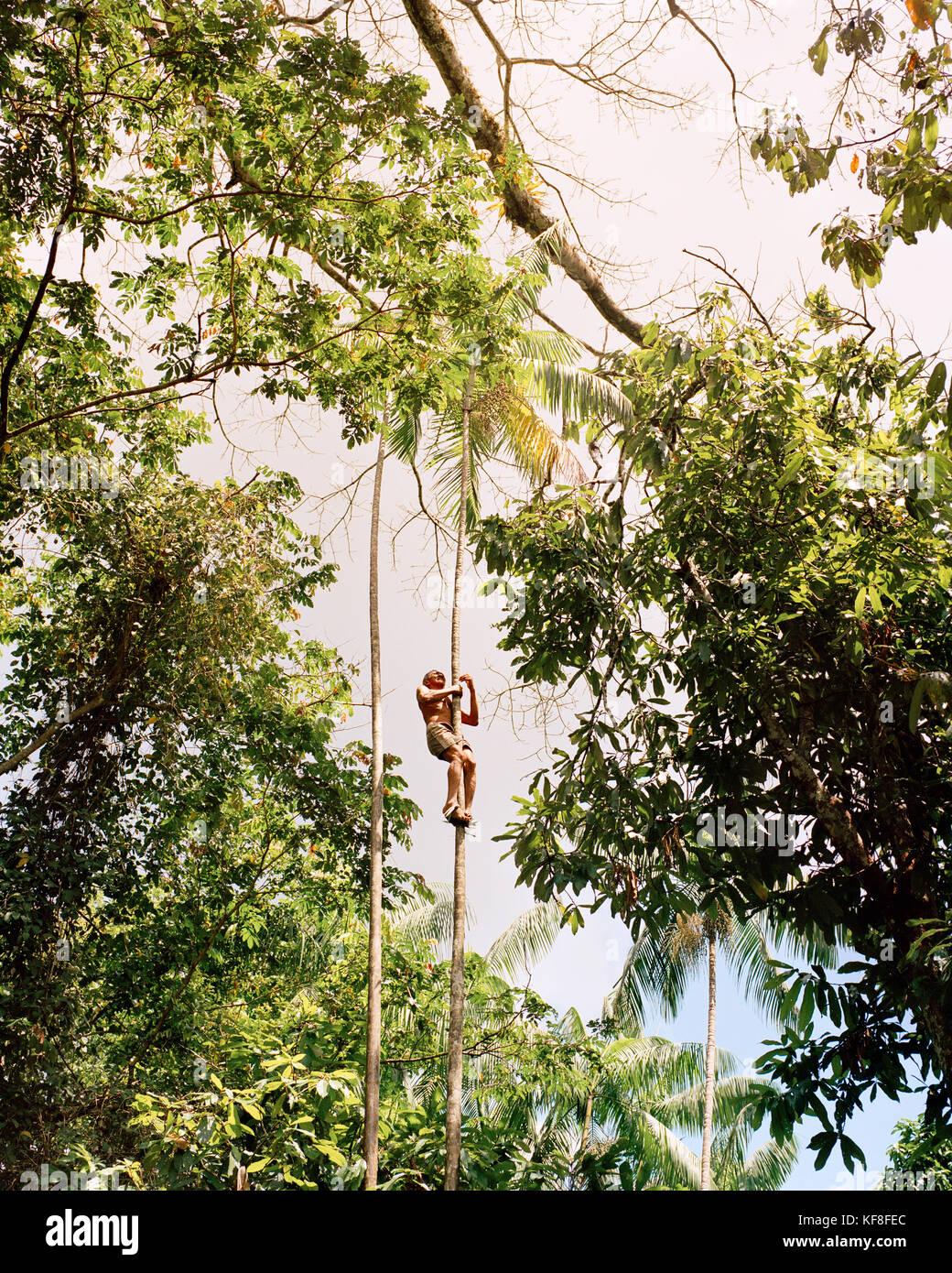 Brazil, Belem, South America, man climbs Acai palms to gather fruit in the Amazon Jungle - Stock Image