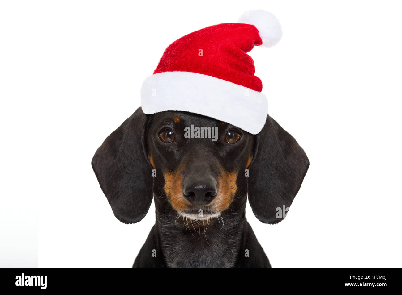 Merry Christmas Dachshund Stock Photos Amp Merry Christmas