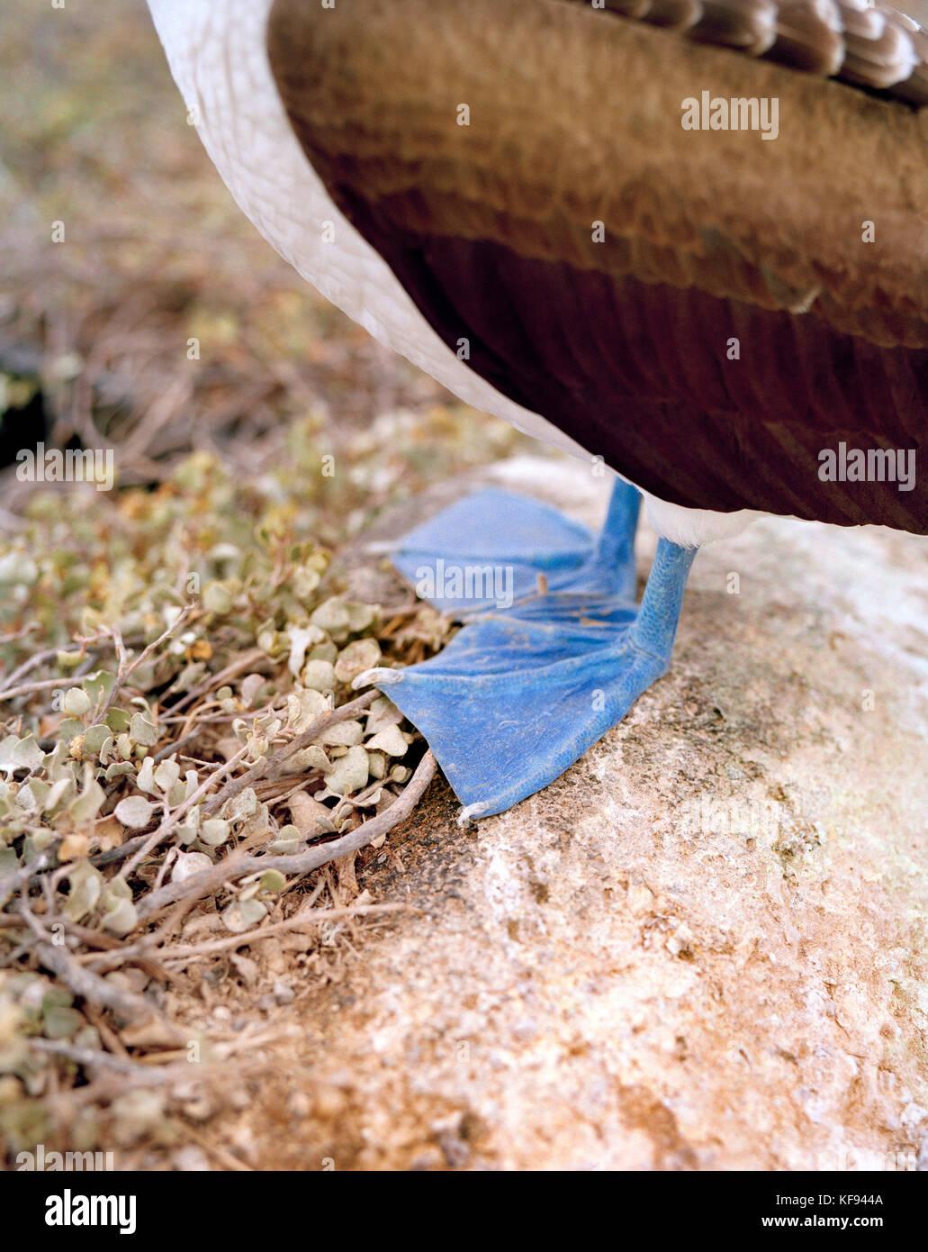 ECUADOR, Galapagos Islands, closeup of blue footed booby, Espanola Island - Stock Image