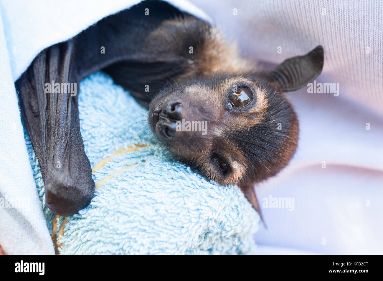Spectacled flying fox