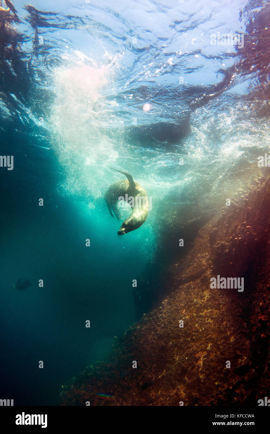 GALAPAGOS ISLANDS, ECUADOR, galapagos sealions seen while diving in the waters near Gordon Rocks - Stock Image