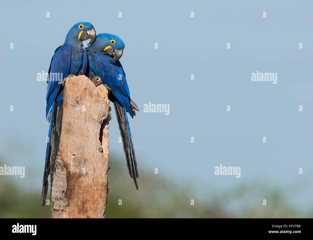 Hyacinth Macaw pair in the Pantanal - Stock Image