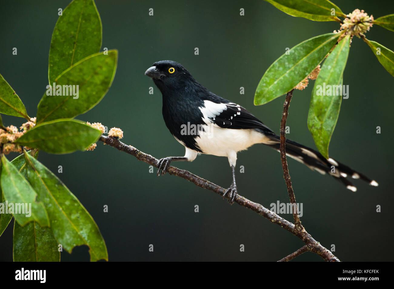 Magpie Tanager (Cissopis leverianus) from the Atlantic Rainforest of SE Brazil - Stock Image