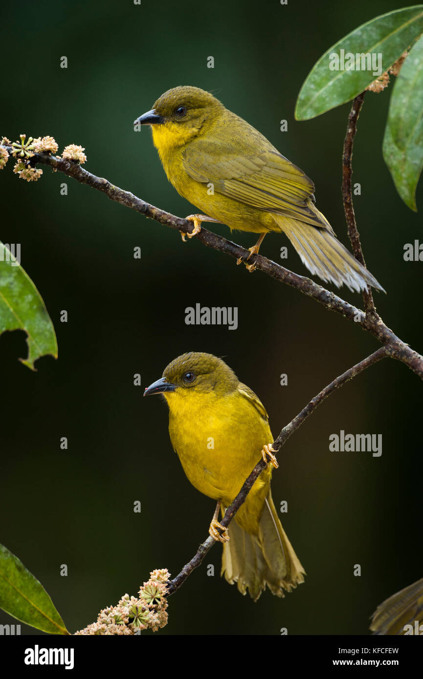 Olive-green Tanagers (Orthogonys chloricterus) from the Atlantic Rainforest of SE Brazil - Stock Image