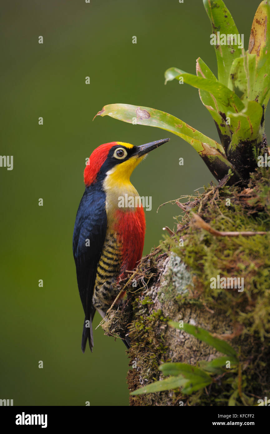A colorful male Yellow-fronted Woodpecker (Melanerpes flavifrons) from the Atlantic Rainforest of SE Brazil - Stock Image