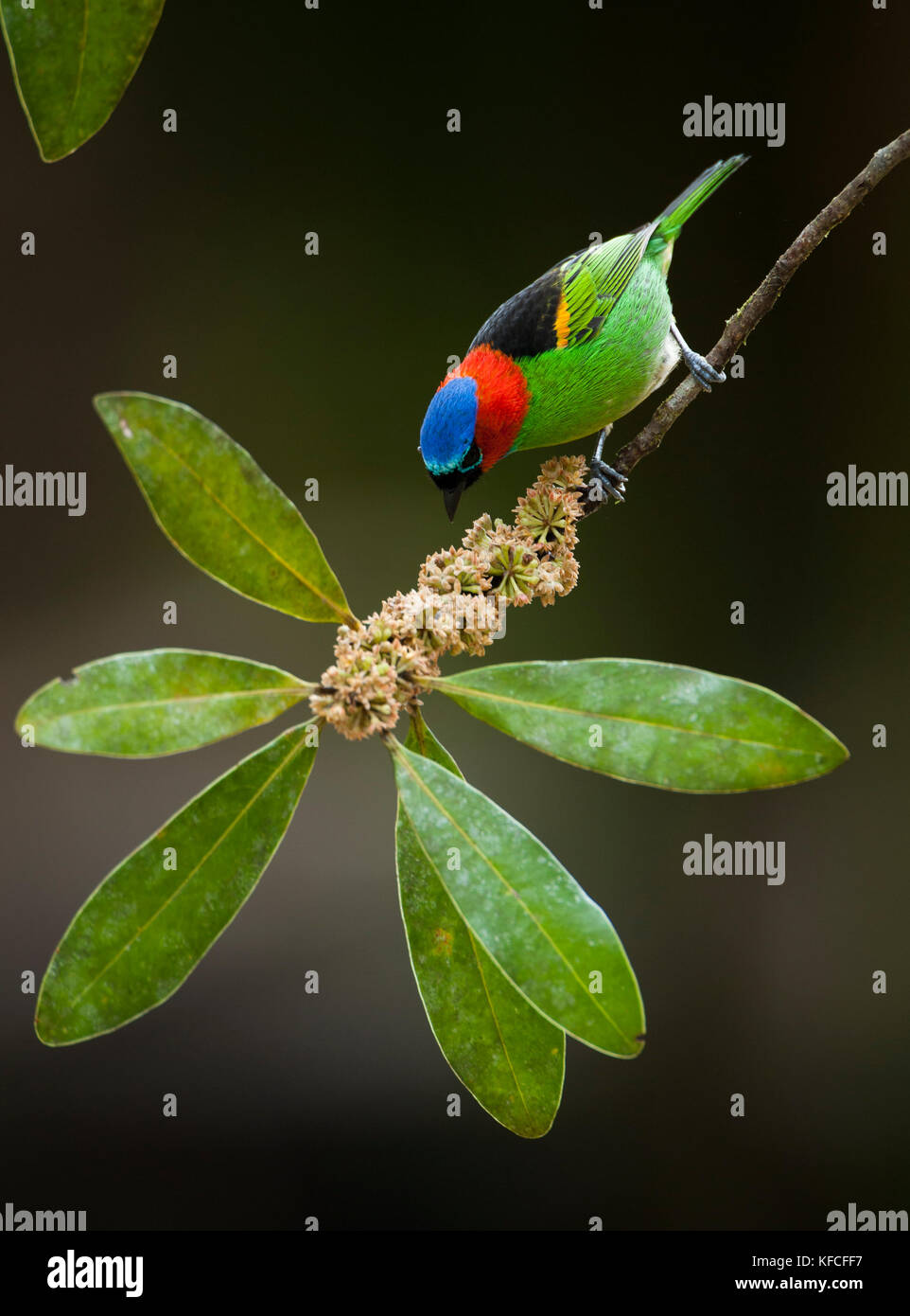 Red-necked tanager (Tangara cyanocephala) from the Atlantic Rainforest of SE Brazil - Stock Image