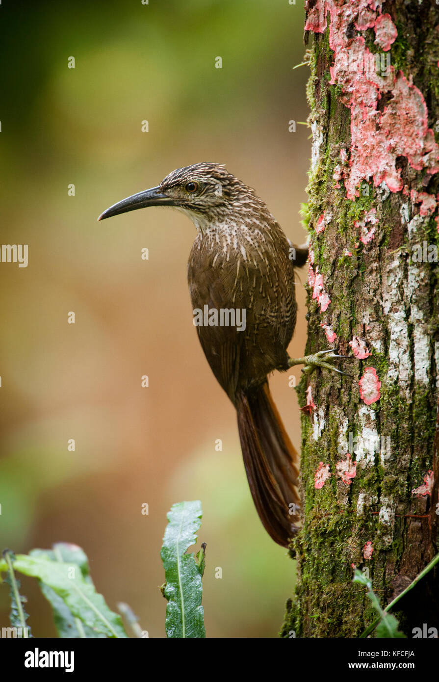 A White-throated Woodcreeper (Xiphocolaptes albicollis) from the Atlantic Rainforest of SE Brazil - Stock Image